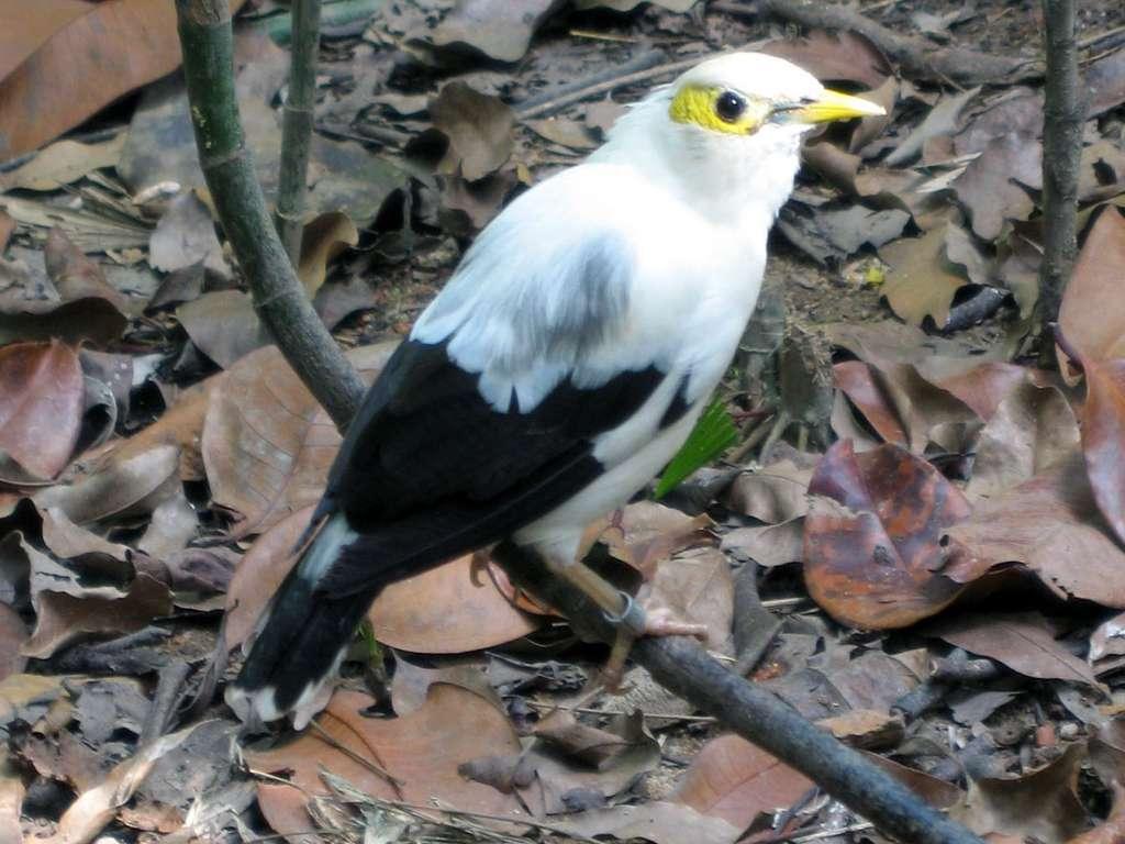 L'étourneau à ailes noires, quasiment éteint, ne fait pourtant l'objet d'aucune protection internationale par la Cites. © Jappalang