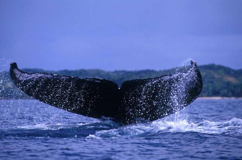 La queue des baleines à bosse, un signe distinctif