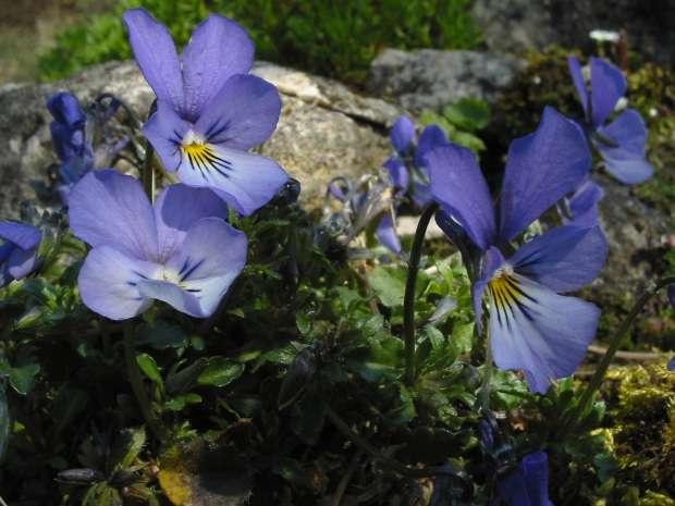 La pensée de Rouen, une espèce proche de Viola cryana. © Bouba, Wikimedia Commons, GFDL