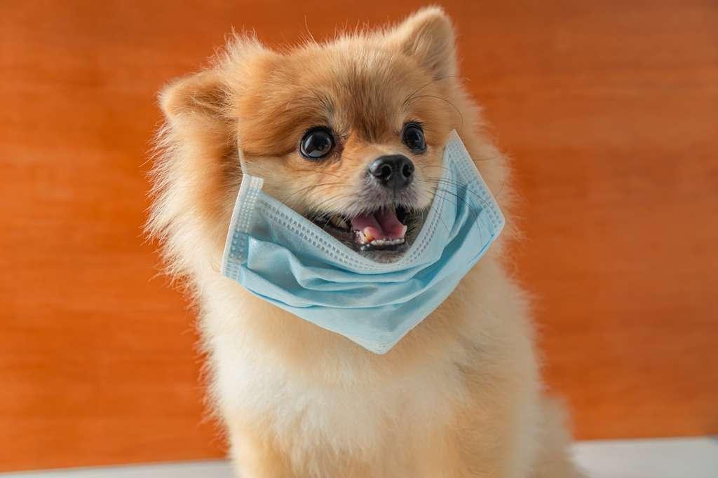Le nouveau coronavirus ne serait pas transmissible de l'humain à l'animal. © Ingon, Adobe Stock