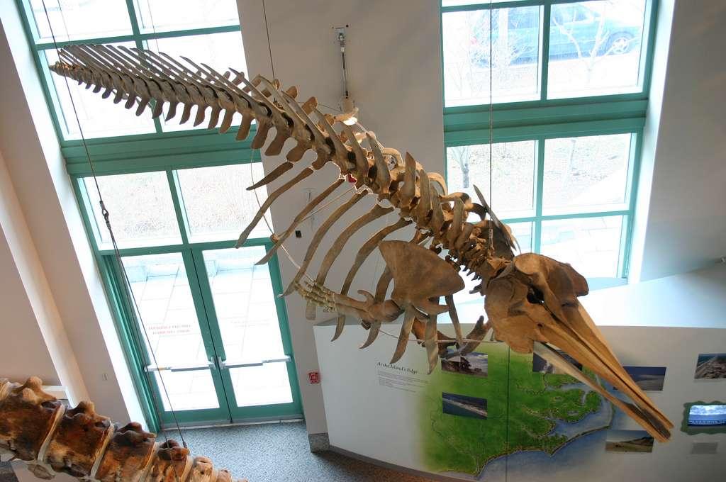 Ce squelette est celui d'un Mesoplodon mirus, autrement dit d'une baleine à bec de True. Comme ses congénères du même genre, cette espèce ne possède que deux dents qui sont situées sur la mâchoire inférieure. © Ryan Somma, Flickr, cc by sa 2.0