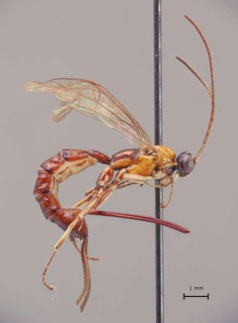 Clistopyga crassicaudata mesure environ un centimètre et son dard, plus de quatre millimètres. © Ilari E. Sääksjärvi, université de Turku