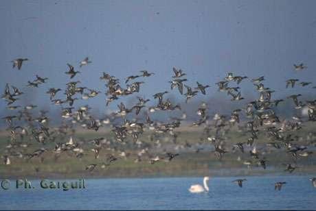 © Ph. Garguil - Vol de canards - Parc Interrégional du Marais Poitevin - Tous droits de reproduction interdit