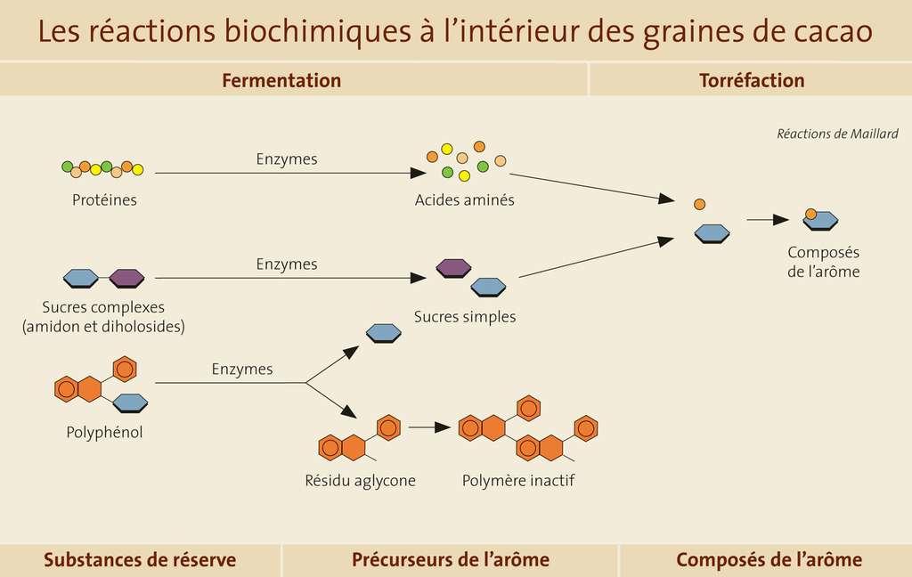 Les réactions biochimiques à l'intérieur des graines de cacao. © Gwendolin Butter