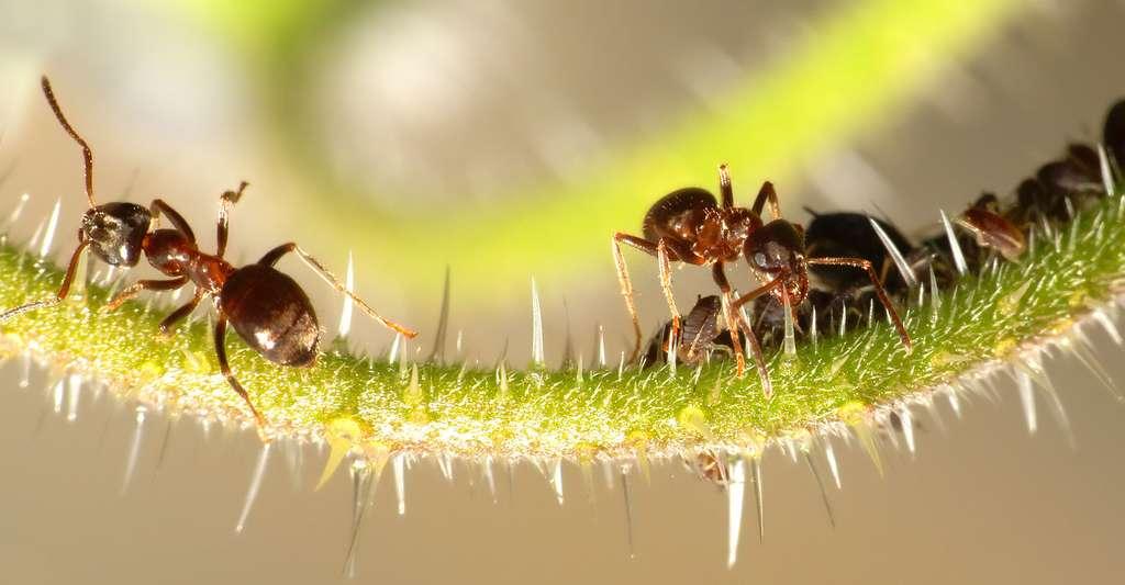 Fourmis (Formicidae sp.) protégeant des pucerons (Aphidoidea sp.). © Thomas Bresson - CC BY 3.0