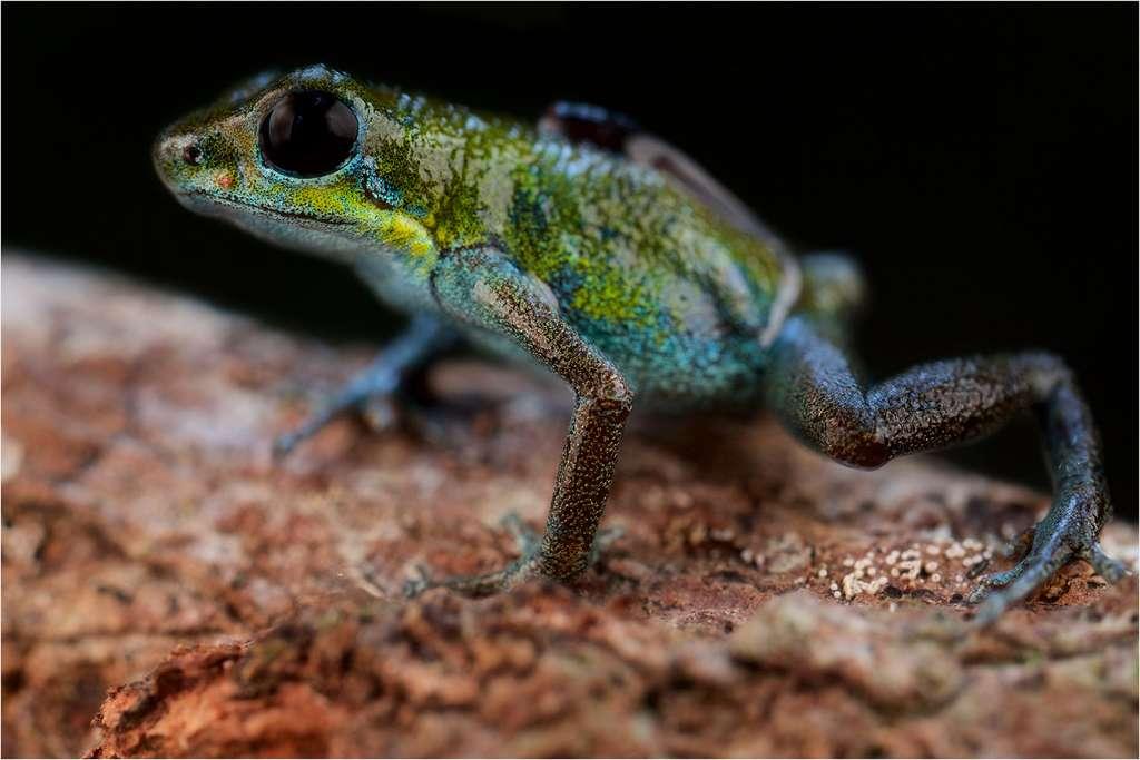 Oophaga pumilio, une grenouille entre vert et bleu