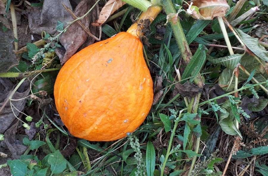 Une belle couleur orange et le pédoncule bien sec sont les signes pour récolter les potimarrons au potager. © S. Chaillot