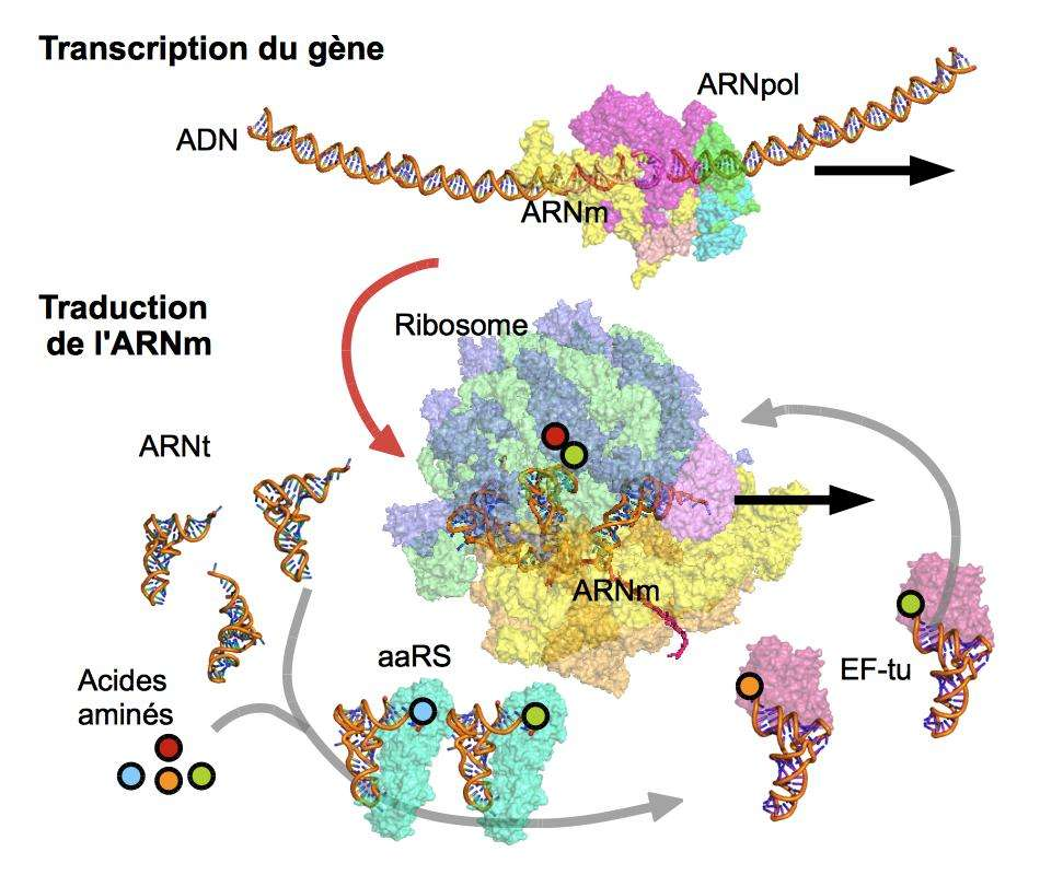 La traduction de l'ARN messager en protéine implique de nombreux acteurs. L'ADN est d'abord transcrit en ARNm par l'ARN pol. Le ribosome lit ensuite la séquence de l'ARNm, et incorpore les acides aminés (fixés sur les ARNt par les aaRS) apportés par le facteur EF-Tu. © Claude Sauter, CC