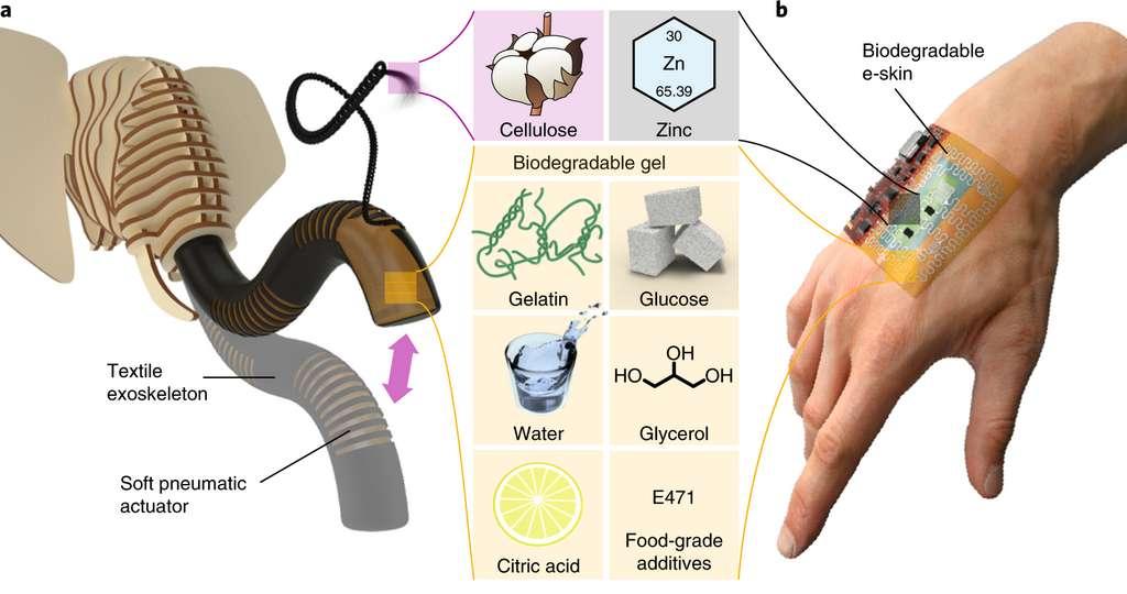 Le robot en forme de trompe d'éléphant et la peau électronique sont conçus avec un gel biodégradable et mangeable. © Baumgartner et al., Nat. Mater., 2020
