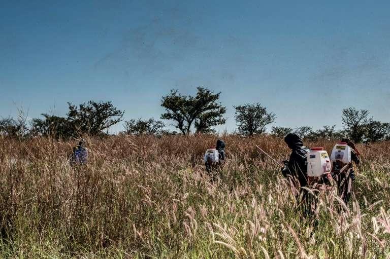 Neuf pays d'Afrique de l'Est sont déjà touchés par les invasions de criquets. © Sumy Sadurni, AFP