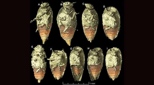 Triamyxa coprolithica est le premier insecte décrit à partir de spécimens dans des coprolithes. © Qvarnström et al., Current Biology