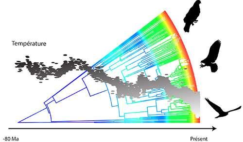 La taille des oiseaux, représentée sur l'arbre phylogénétique par des couleurs plus chaudes pour des vitesses d'évolution plus élevées, a varié au cours des temps géologiques en réponse aux changements climatiques, matérialisés ici par la courbe grise. Pendant les périodes géologiques froides, leurs tailles ont évolué plus rapidement. © CNRS