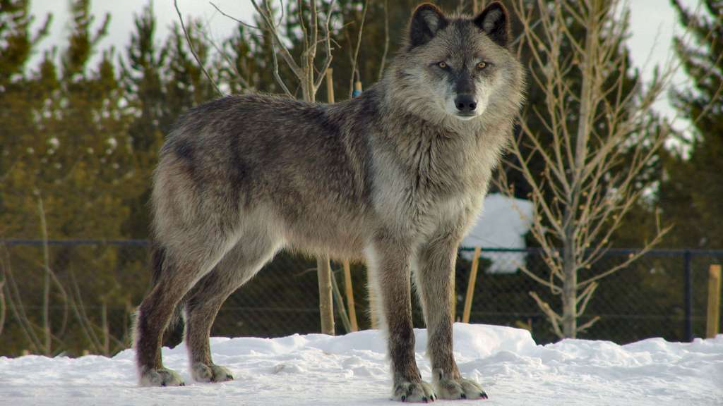 Deux loups du Canada pour le prix d'un