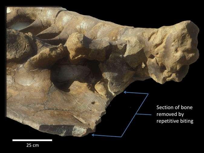 Des traces de morsures répétées sur un os du bassin d'un tricératops. Le coupable est un T-rex qui l'a patiemment brisé en mordant à plusieurs reprises. Les flèches montrent la partie d'os manquante ainsi découpée (Section of bone removed by repetitive biting : partie d'os enlevée par morsures répétitives). © Paul Gignac et Gregory Erickson, Scientific Reports