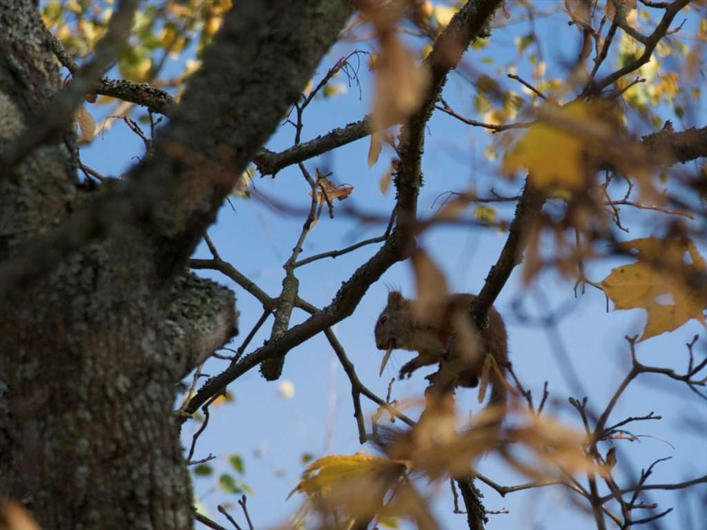 L'érable plane est également appelé « érable blanc ». © Jpek, Flickr by-nc-sa 3.0
