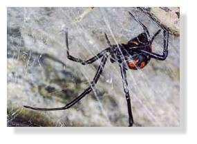 Une araignée « veuve noire » ou Latrodectus mactans tredecimguttatus. © U. Marinu, Norbert Verneau