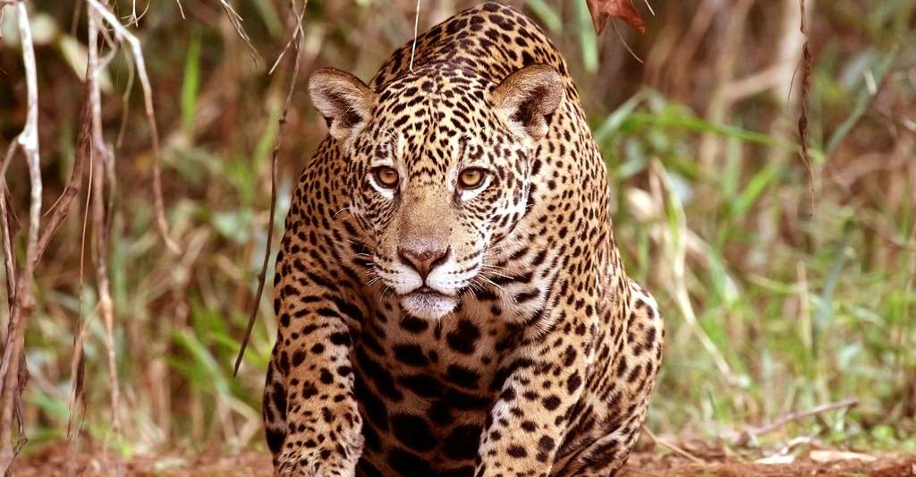 Jaguar (Panthera onca palustris). © Charlesjsharp, Wikimedia commons, CC by-sa 4.0