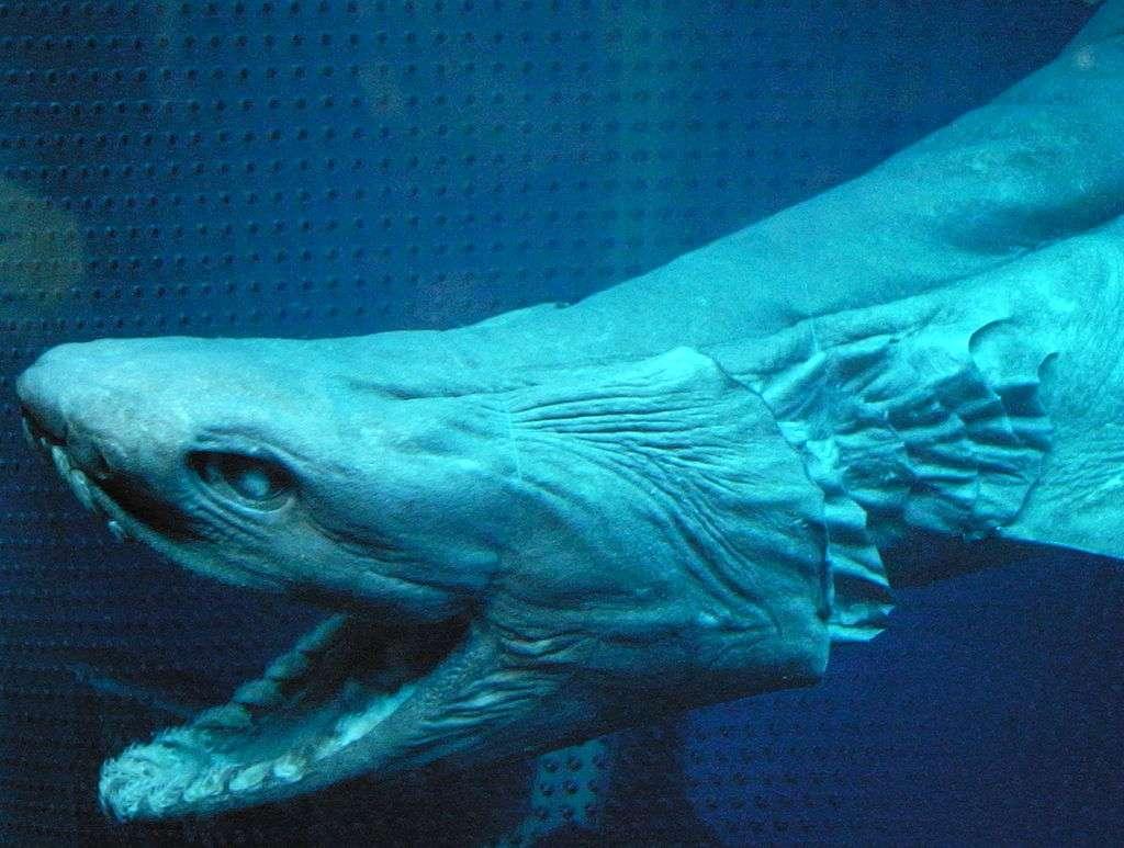 Le requin-lézard (Chlamydoselachus anguineus, Garman, 1884) peut atteindre deux mètres de longueur. Il vit le plus souvent dans les profondeurs abyssales et ressemble à une espèce disparue. Son corps ressemble à une anguille mais il paraît plus raide. © Open Cage, CC by-sa 2.5
