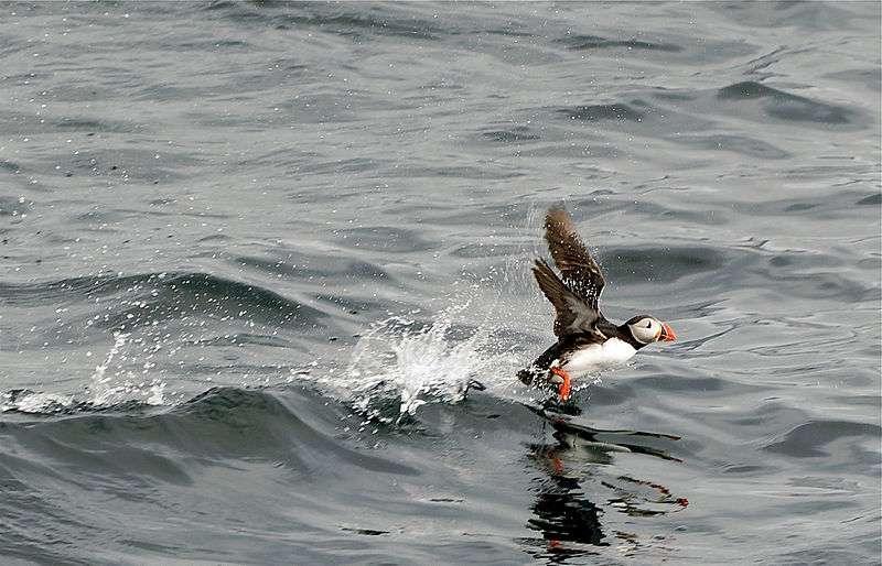 Pour décoller, le macareux court sur l'eau. © Jörg Hempel, CC-by-SA 2.0