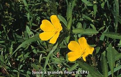 Jussie à grandes fleurs © CEPA Reproduction interdite sans autorisation de l'auteur