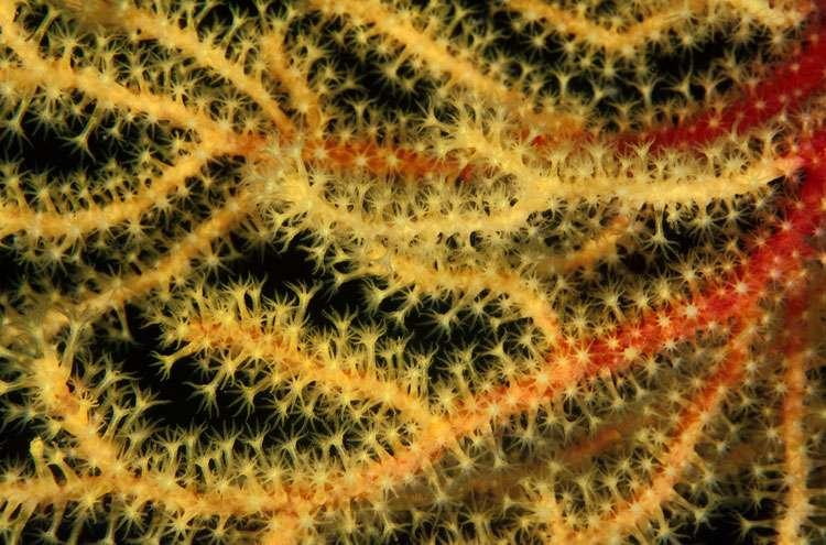 La gorgone rouge, en Méditerranée