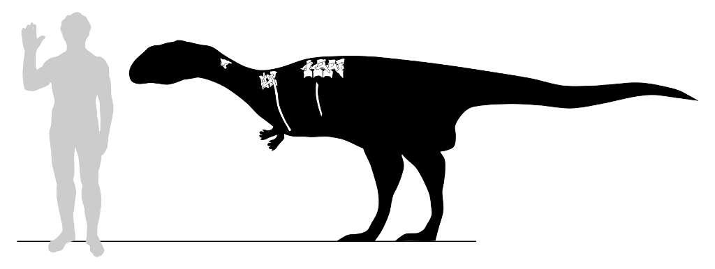 La taille probable de Dahalokely tokana, une nouvelle espèce de dinosaures qui vivait à Madagascar voilà 90 millions d'années, est comparée à celle d'un homme. L'animal faisait 3,5 m de long. Les restes fossiles qui ont été trouvés sont représentés en blanc. © Andrew Farke, Joseph Sertich