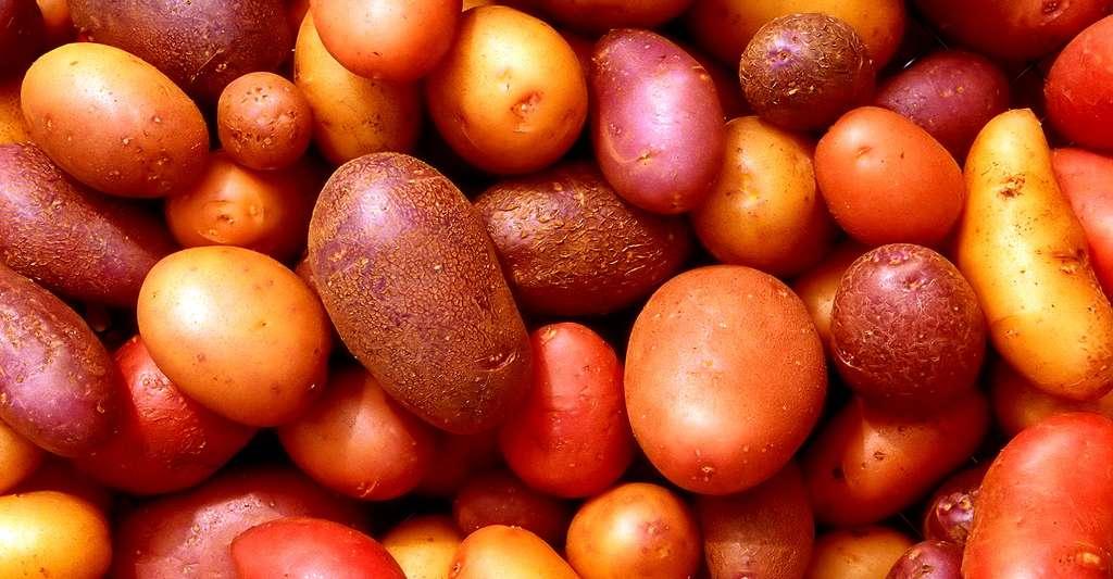 Différentes variétés de pommes de terre. © Scott Bauer, USDA ARS, DP