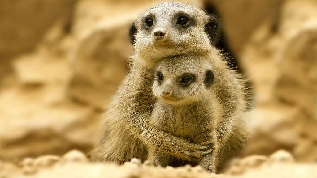 Le bébé suricate, une petite boule de poils