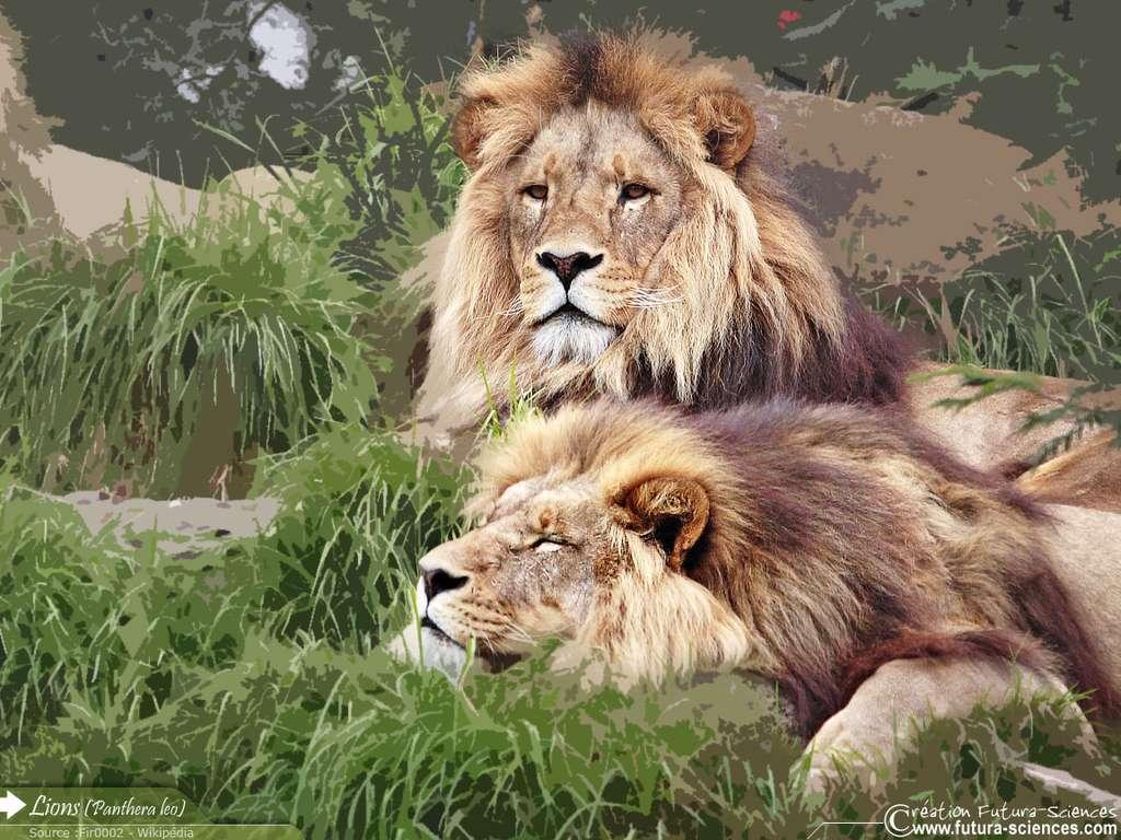 Lions au repos