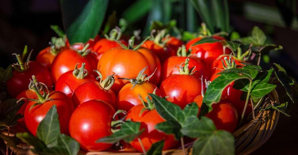 Le Festival de la tomate, au château de la Bourdaisière, est l'occasion de découvrir différentes variétés, dans le cadre des Journées du patrimoine. © Hschmider, Pixabay, DP