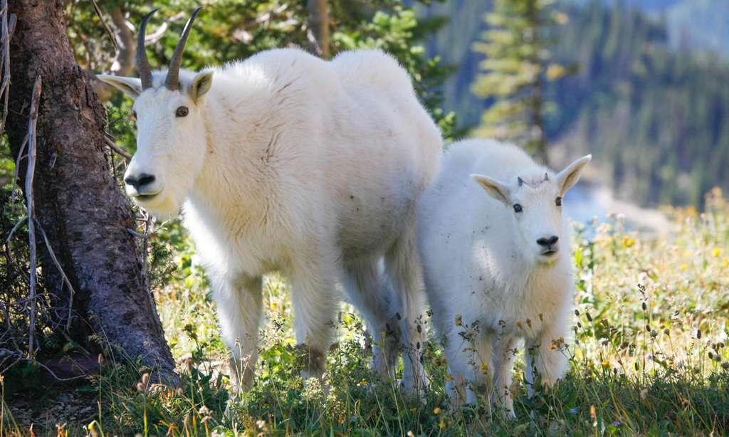 Des chèvres des montagnes Rocheuses (Oreamnos americanus) dans le parc de Glacier. © Antoine