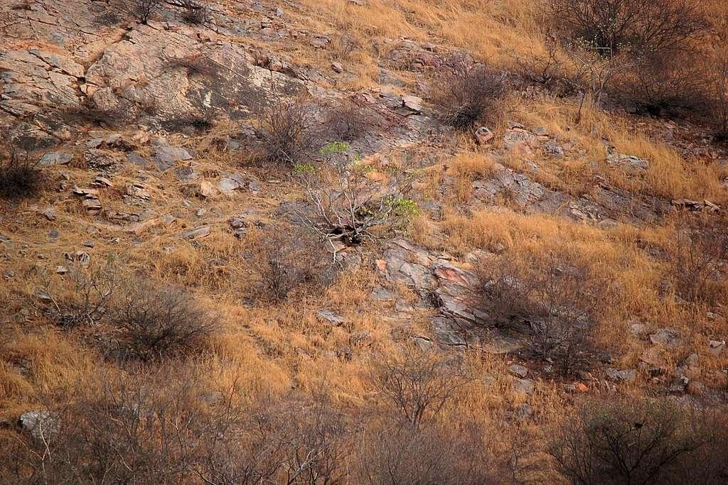 Un léopard se cache sur cette photo. Mais où ? © Abhinav Garg, Facebook, Sanctuary Nature Foundation