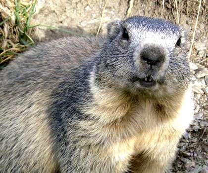 Marmota marmota. © Domaine public