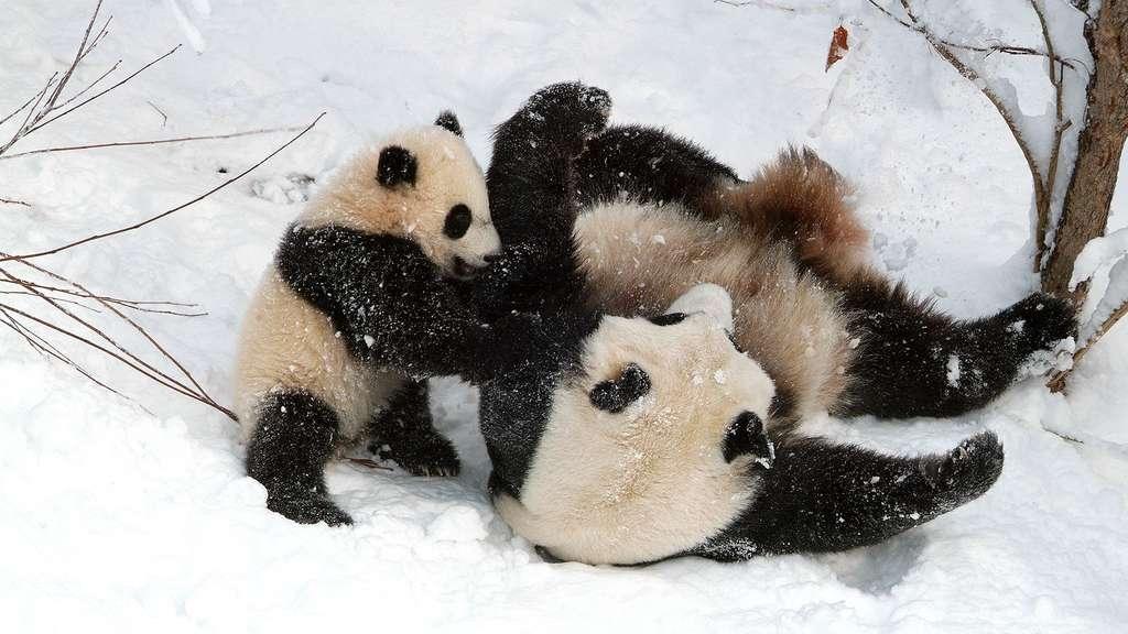 Un bébé panda joueur