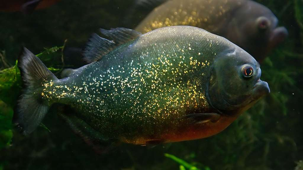 Un piranha rouge à l'aquarium-muséum de Liège