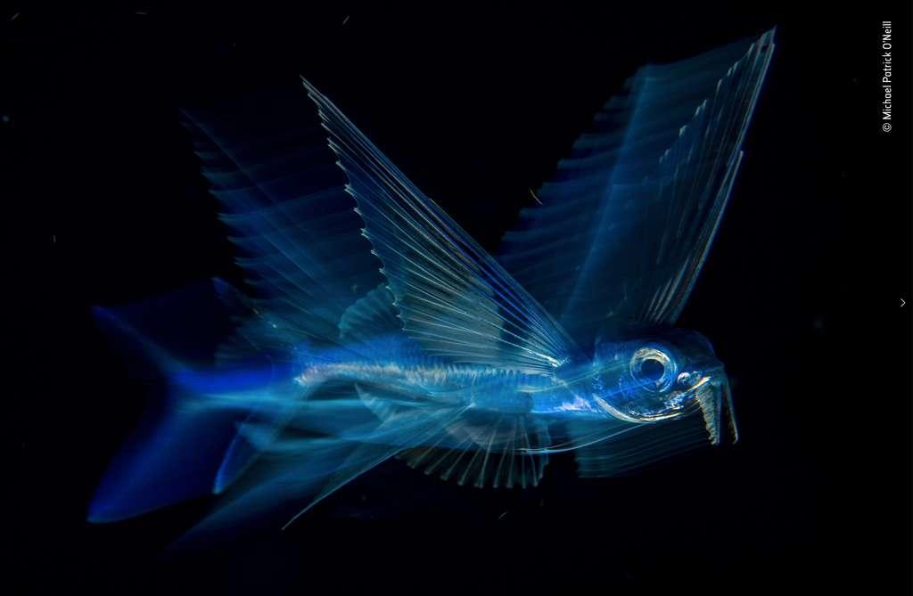 Poisson volant dans la nuit. © Michael Patrick O'Neill