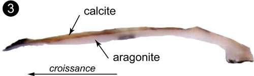 Exemple de coquille de bivalve ayant une couche calcitique et une couche aragonitique. Photo 3 : Lamelle d' I. isognomon en coupe (vue à la loupe binoculaire), montrant l'organisation de la coquille en 2 couches distinctes, une couche aragonitique interne et une couche calcitique externe (plus colorée). © C.E. Lazareth. Reproduction et utilisation interdites