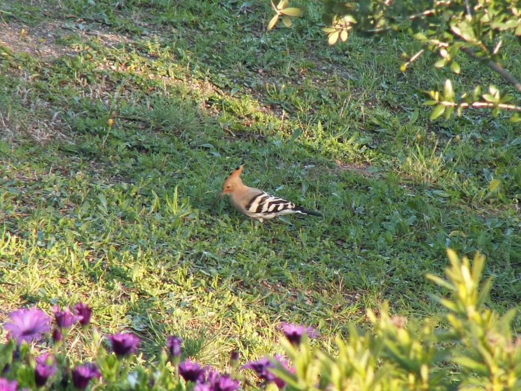 Une huppe fasciée surprise en Corse en avril 2007. Lorsque la mauvaise saison arrive, l'oiseau va prendre ses quartiers en Afrique tropicale. © Valérie Hukalo, Flickr, cc by nc sa 2.0