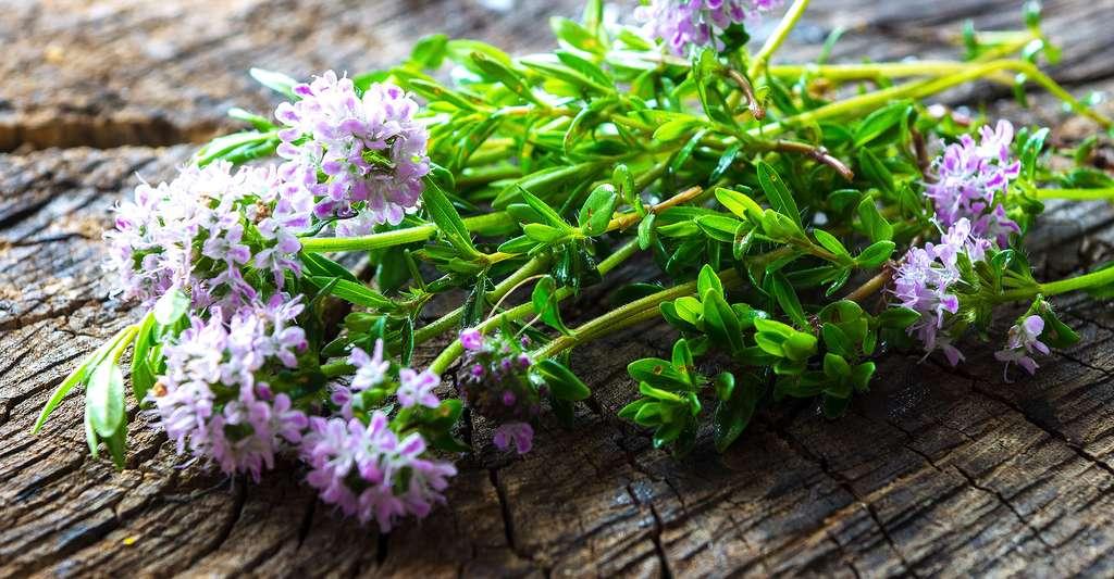 La sarriette est un condiment aphrodisiaque. © Dani Vincek, Shutterstock