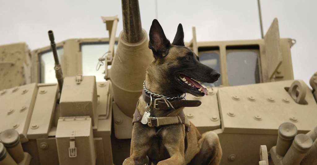 Malinois sur un tank. © U.S. Air Force, Staff Sgt. Stacy L. Pearsall, Wikimedia commons, DP