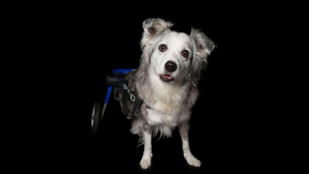 Alors qu'elle n'avait que 5 ans, Jessie a été victime d'un malheureux accident. Un mauvais geste en jouant à la balle et elle s'est retrouvée paralysée des pattes arrières. Mais qu'à cela ne tienne, aujoud'hui elle se déplace à l'aide de roulettes et «ses humains» veillent à ce que sa qualité de vie reste la même. Retrouvez-là dans notre diaporama «Les imperfections parfaites du monde animal». © Alex Cearns. Tous droits réservés