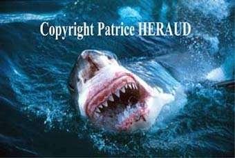 Le requin blanc toujours aussi impressionnant !