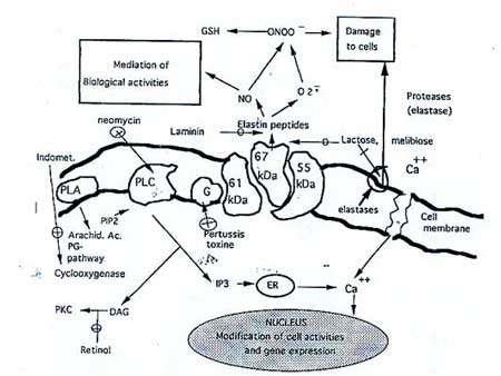 Figure 1 : Représentation schématique du récepteur de l'élastine-laminine avec ses trois sous-unités, dont, au centre,celui de 67kD reconnaissant l'élastine, la laminine et ayant un site lectinique pour des séquences de type lactose. Indication de la voie de transmission du message vers l'intérieur de la cellule et certaines des réactions déclenchées : libération d'élastase et de radicaux libres.