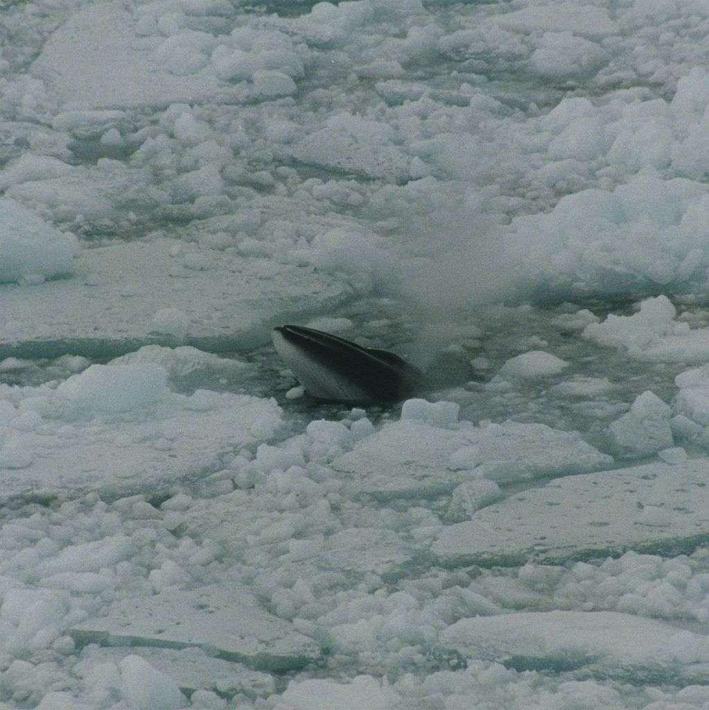 Le petit rorqual de l'Antarctique est souvent très discret et se cache parfois sous les glaces flottantes de l'hémisphère sud. Pas toujours facile à observer, il a fallu un demi-siècle avant d'être certain qu'il était bien à l'origine d'un son de canard caractéristique. © Brocken Inaglory, Wikipédia, cc by sa 3.0