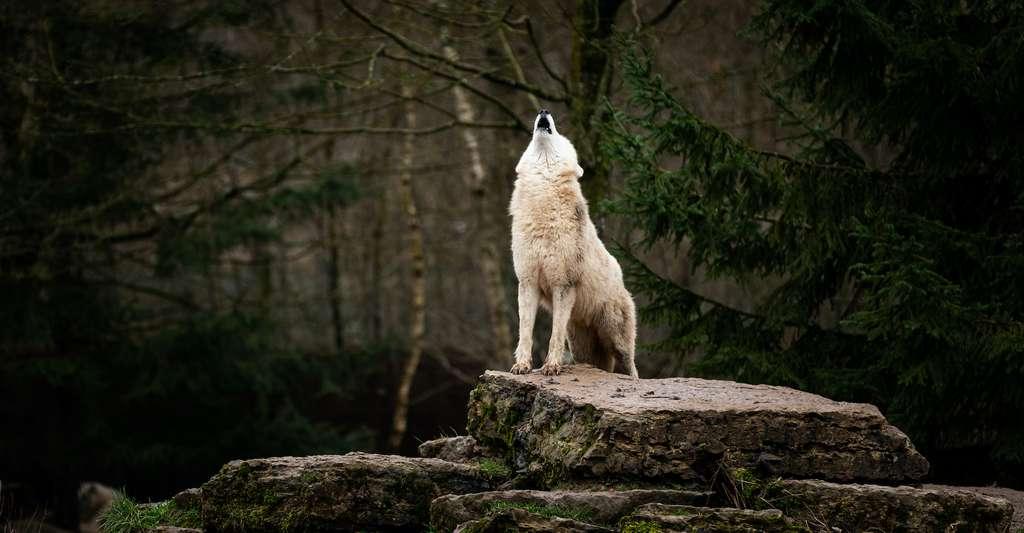 L'algorithme développé par les chercheurs de l'université Cornell (États-Unis) pourrait aussi aider à démêler les épisodes d'accouplements passés entre chiens et loups. © AB Photography, Adobe Stock