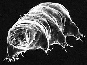 Un tardigrade au microscope électronique à balayage. Une drôle d'allure pour un champion toutes catégories de la survie. © Rick Gillis et Roger J./Haro Department of Biology University of Wisconsin - La Crosse