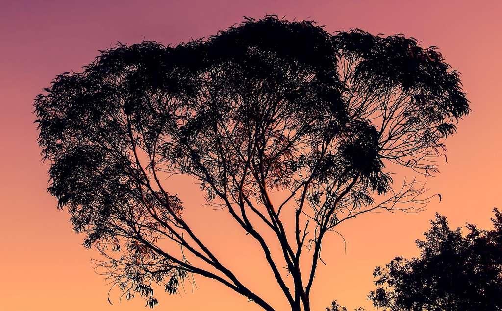 Selon des chercheurs australiens, les forêts d'eucalyptus, entre autres, seraient moins à même de profiter d'un surplus de CO2 pour croître. © MempryCatcher, Pixabay, CC0 Public Domain
