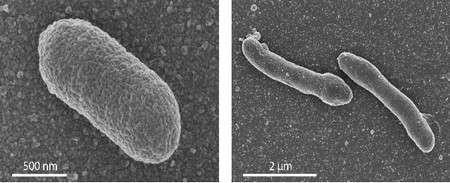 Les bactéries génétiquement modifiées (à droite) ont une forme plus allongée que les bactéries E. coli initiales (à gauche). Les images sont obtenues au microscope électronique à balayage. © University of Wageningen/Van der Oost Laboratory