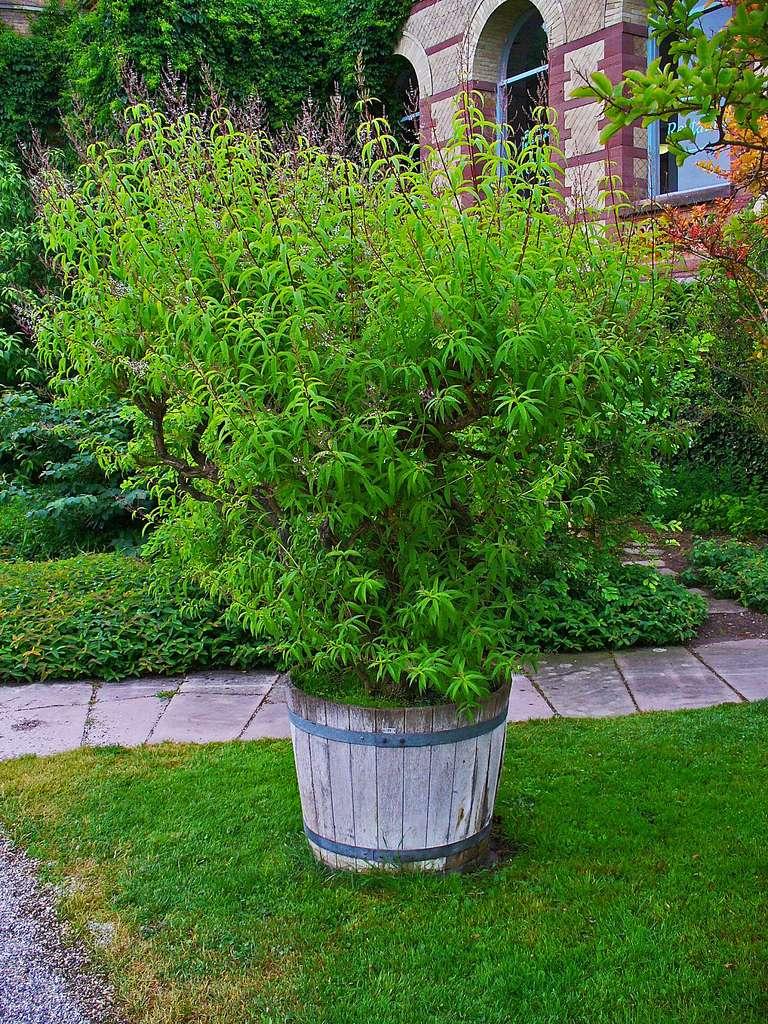 Plant de verveine. © H. Zell, CC by-nc 3.0