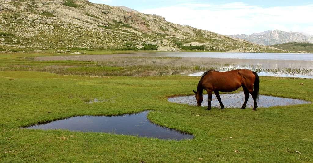 De nombreux animaux sont laissés en liberté autour du lac de Nino dans le Parc naturel régional de Corse dont des chevaux qui se nourrissent autour des pozzines. © Arnaud Abadie, Wikimedia commons, CC by-sa 4.0